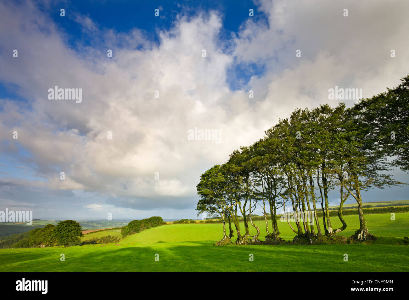 Ancient beech tree hedge in a field in Exmoor National Park, Devon England. Summer (July) 2009. - Stock Image