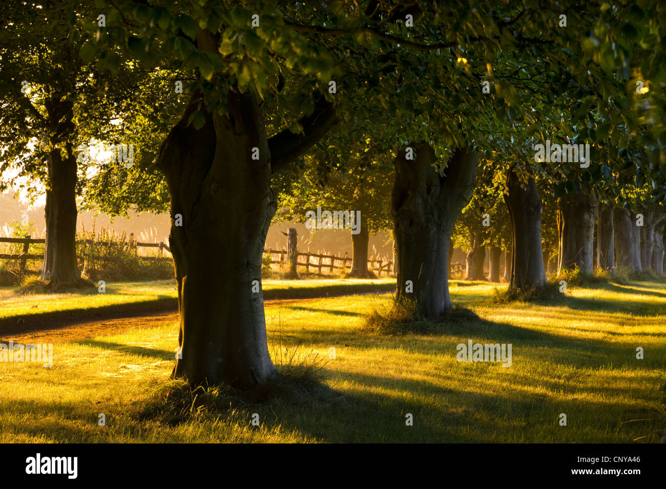 Golden morning sunlight illuminating an avenue of trees in the Cotswolds, Gloucestershire, England. Summer 2011. Stock Photo