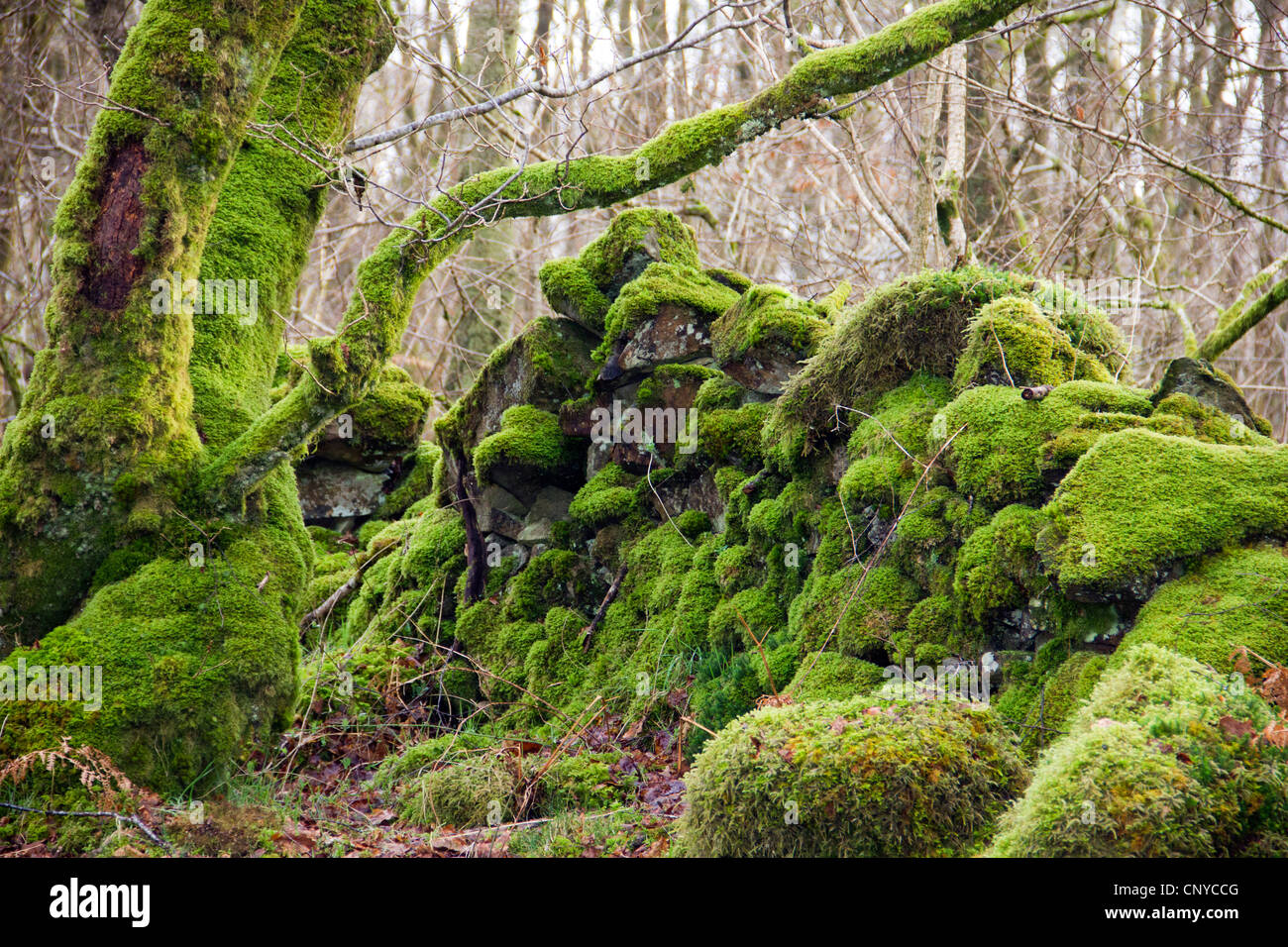Dry Stone Dyke Wall covered in moss at Wood of Cree in Galloway, Scotland Stock Photo