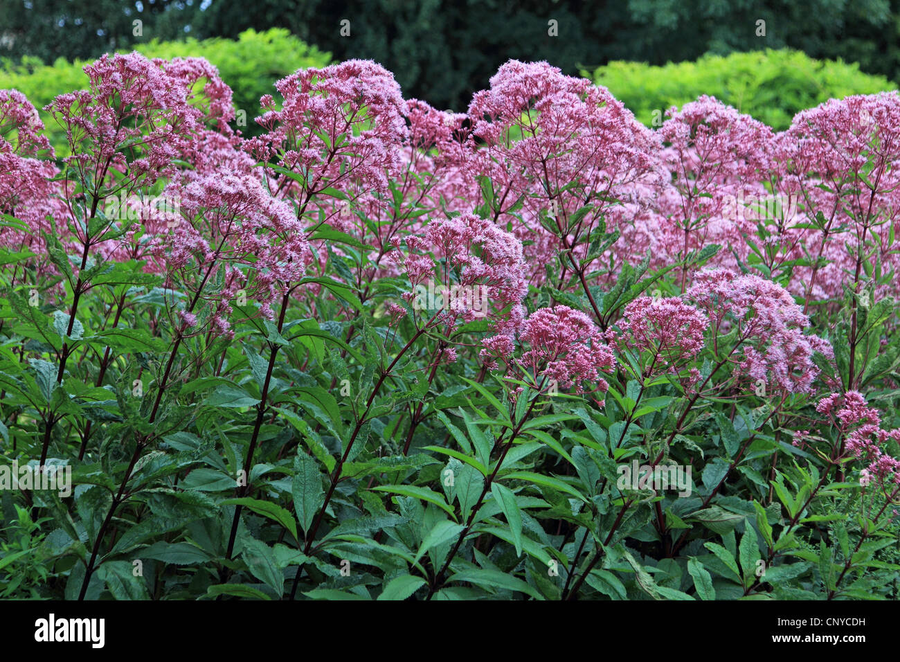 Joe Pye weed (Eupatorium spec.), blooming - Stock Image