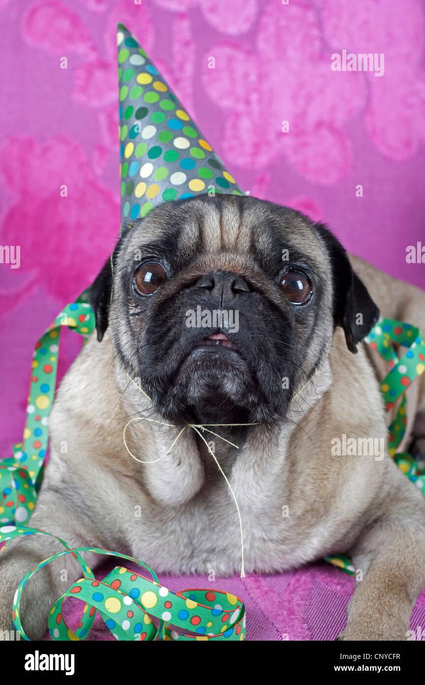 Pug (Canis lupus f. familiaris), pug celebrating party Stock Photo