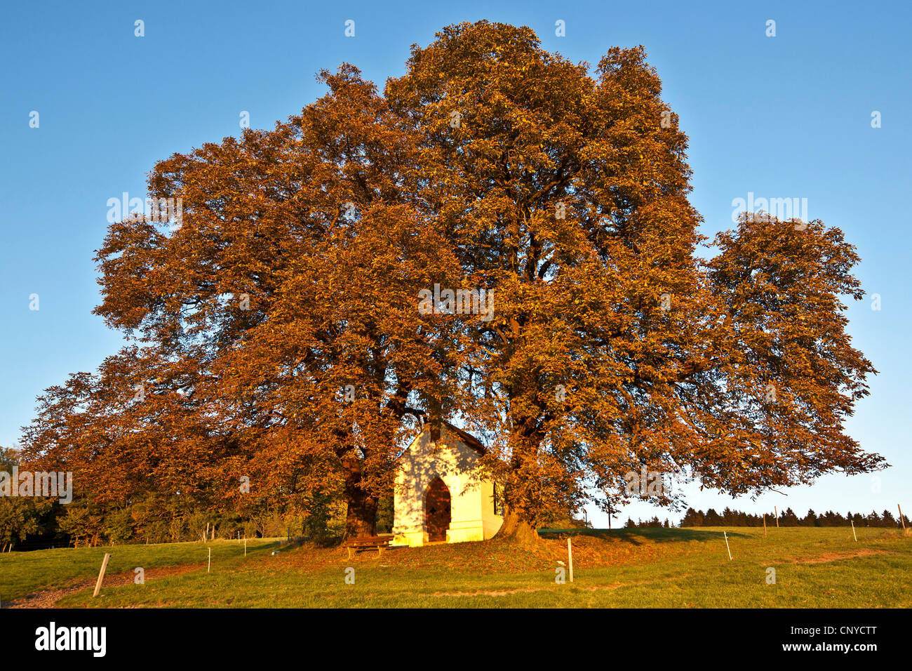 common horse chestnut (Aesculus hippocastanum), in autum with chapel, Germany, Bavaria - Stock Image