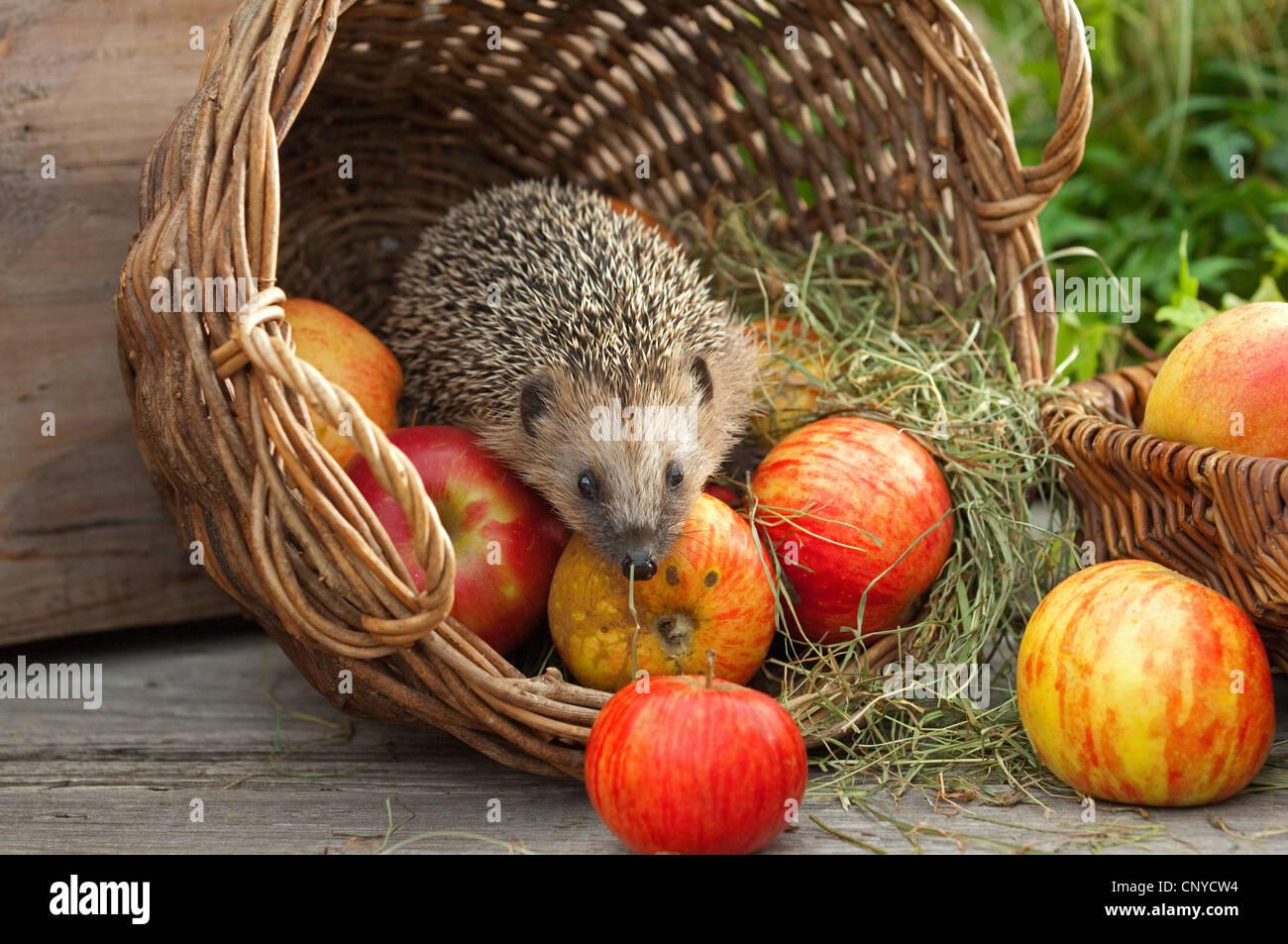Western hedgehog, European hedgehog (Erinaceus europaeus), climbing in a basket with apples, Germany, Bavaria - Stock Image