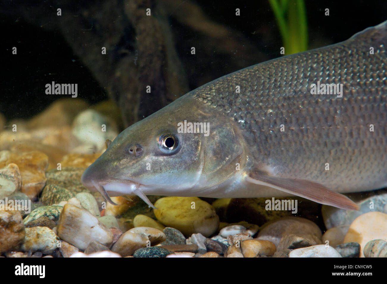 barbel (Barbus barbus), portrait at the pebble ground of a water - Stock Image