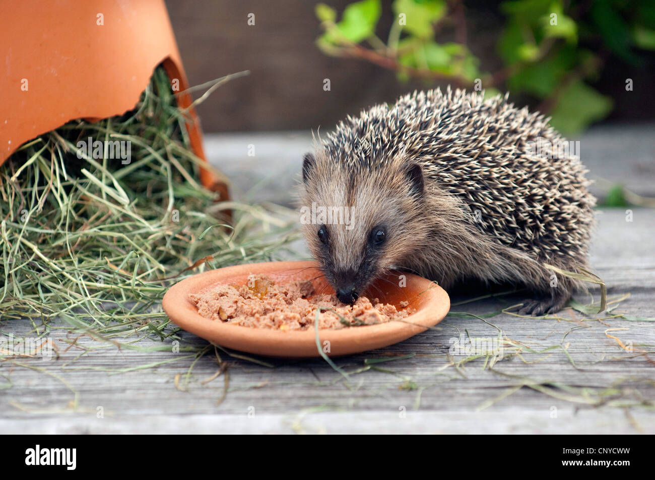 What Cat Food For Hedgehog