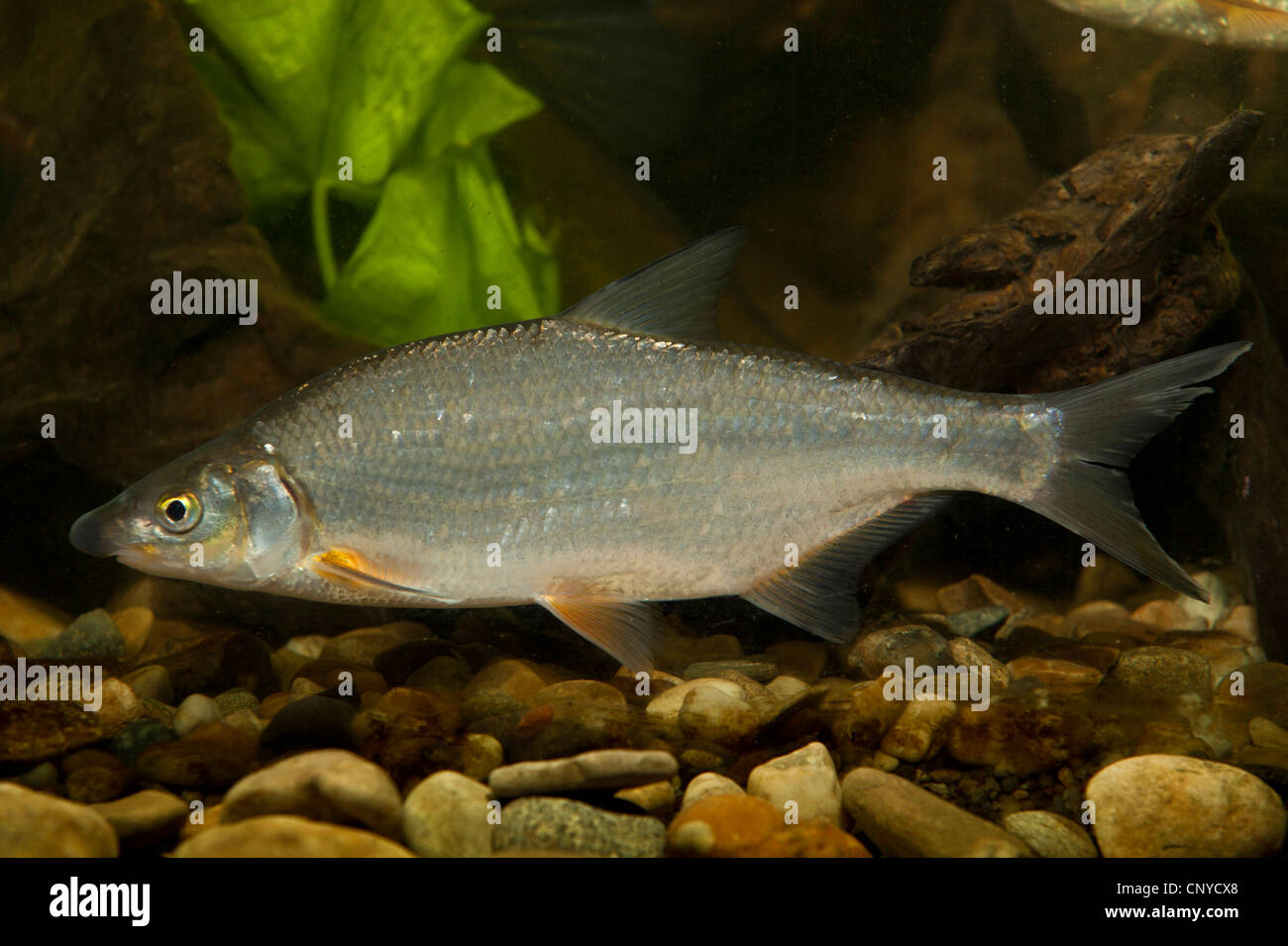 East European bream, zaehrte, Baltic vimba (Vimba vimba), at the pebble ground of a water - Stock Image
