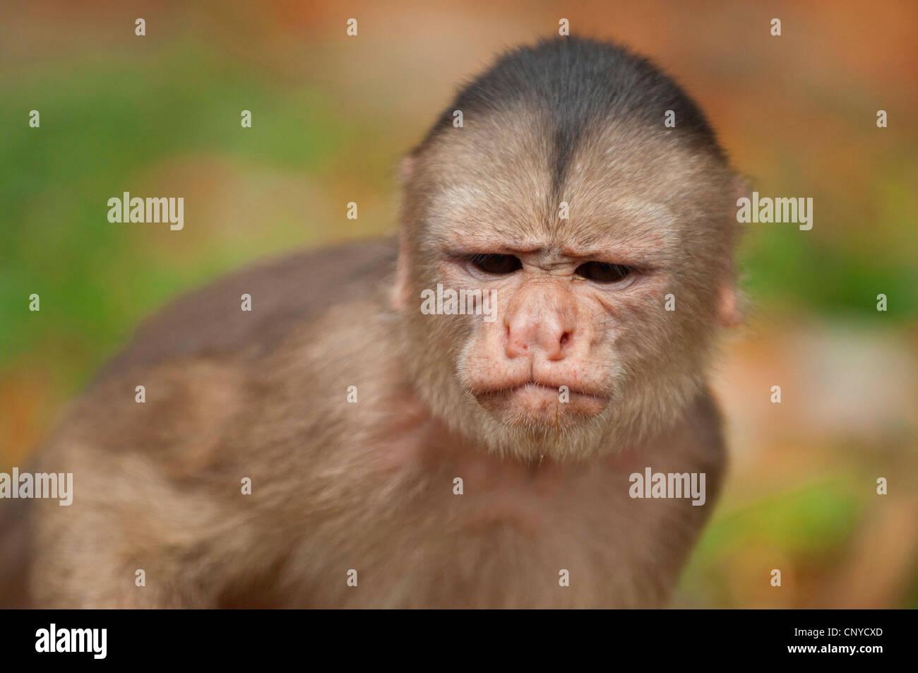 capuchins, ring-tailed monkeys (Cebus spec.), front portrait, frowning, Ecuador, Pastaza - Stock Image