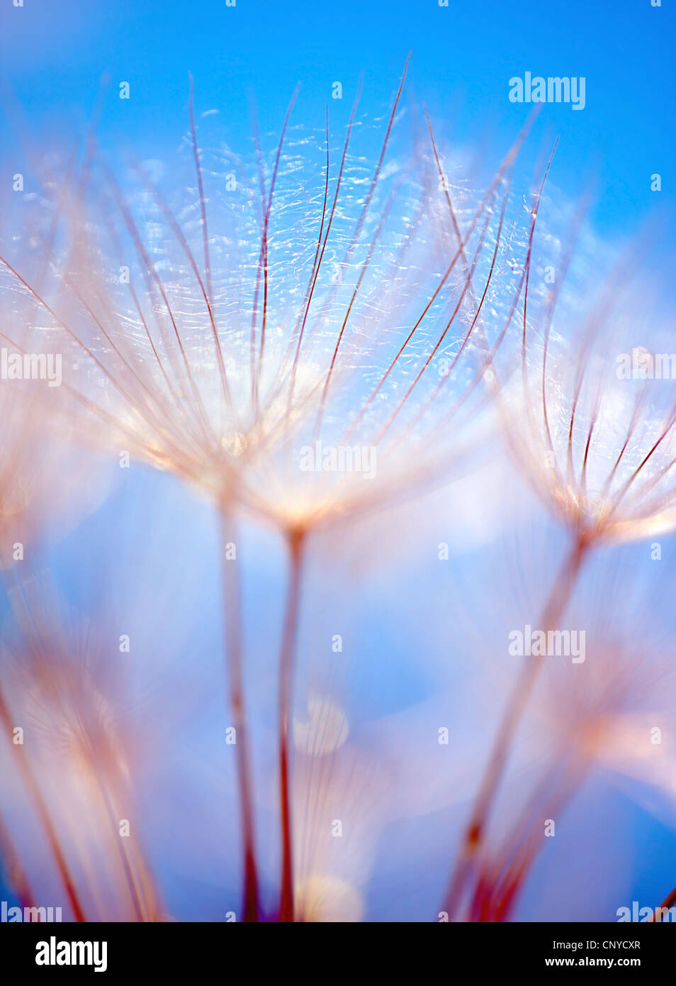 Abstract dandelion flower over blue sky background, extreme closeup with soft focus, beautiful spring nature details - Stock Image
