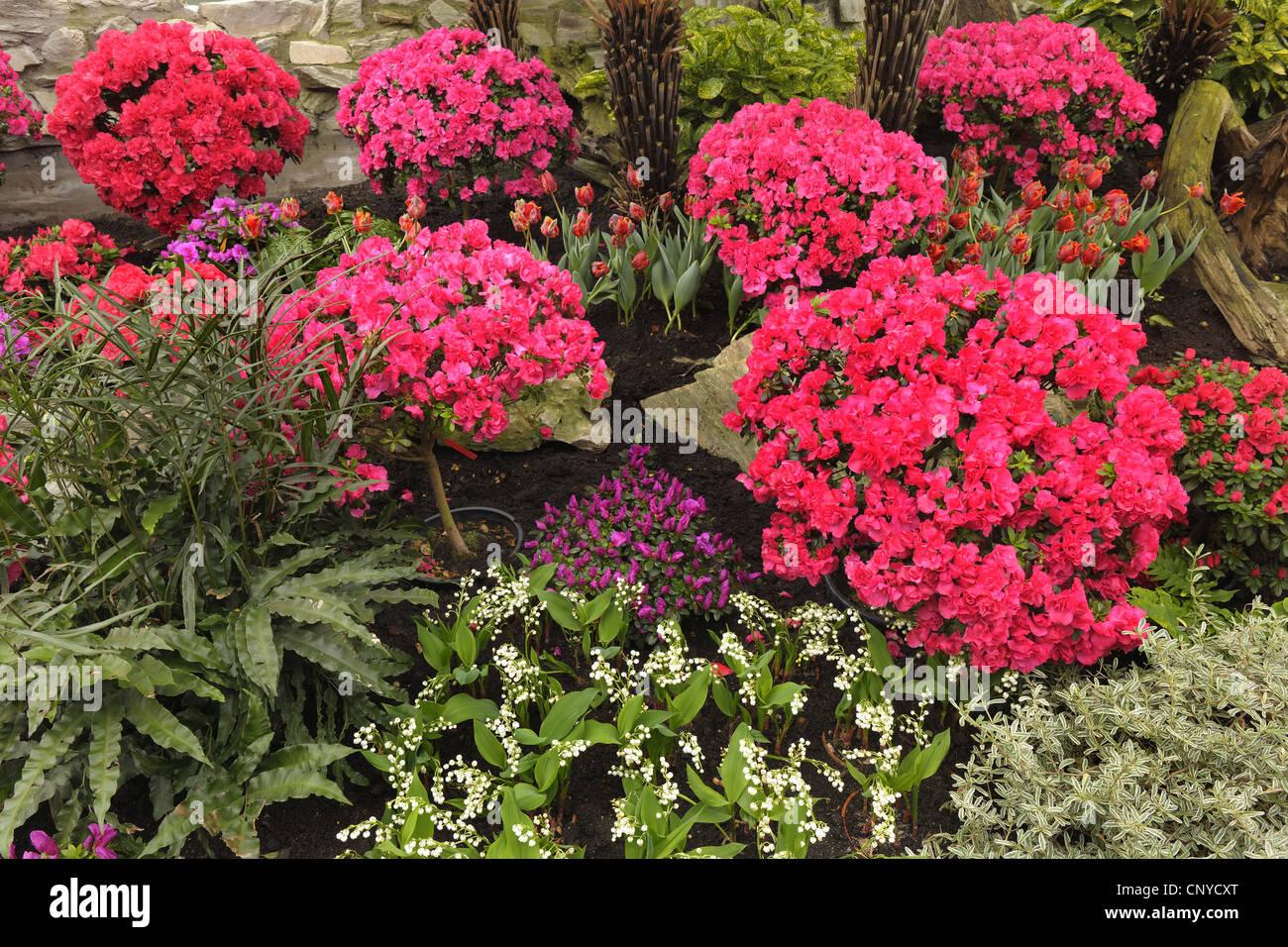 azalea (Azalea spec.), red azaleas in flowerbed, Germany - Stock Image