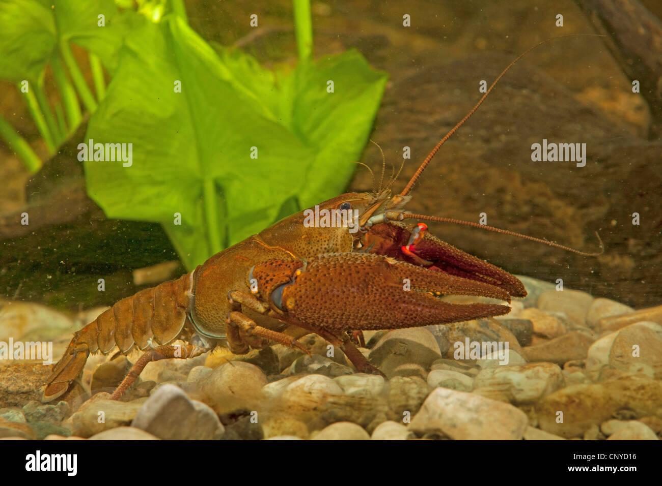 noble crayfish (Astacus astacus), male on pebble ground - Stock Image