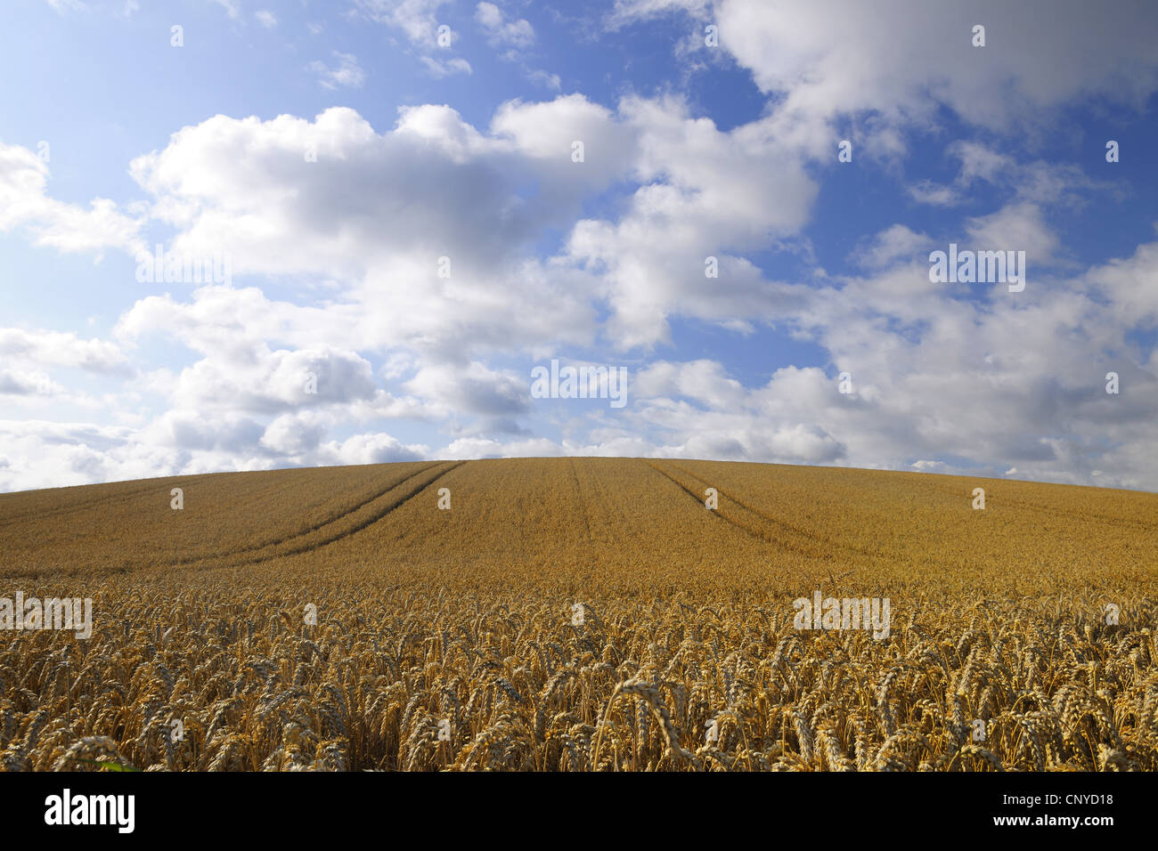wheatfield in summer, Germany, Hesse - Stock Image