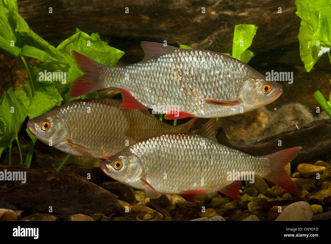 rudd (Scardinius erythrophthalmus), three fishes at the pebble ground of a water - Stock Image