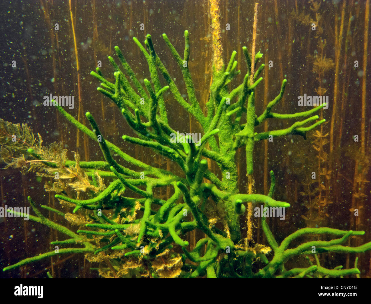 Spongilla lacustris (Spongilla lacustris), section of a large exemplar more than 1 m high, Germany, Bavaria, Staffelsee Stock Photo