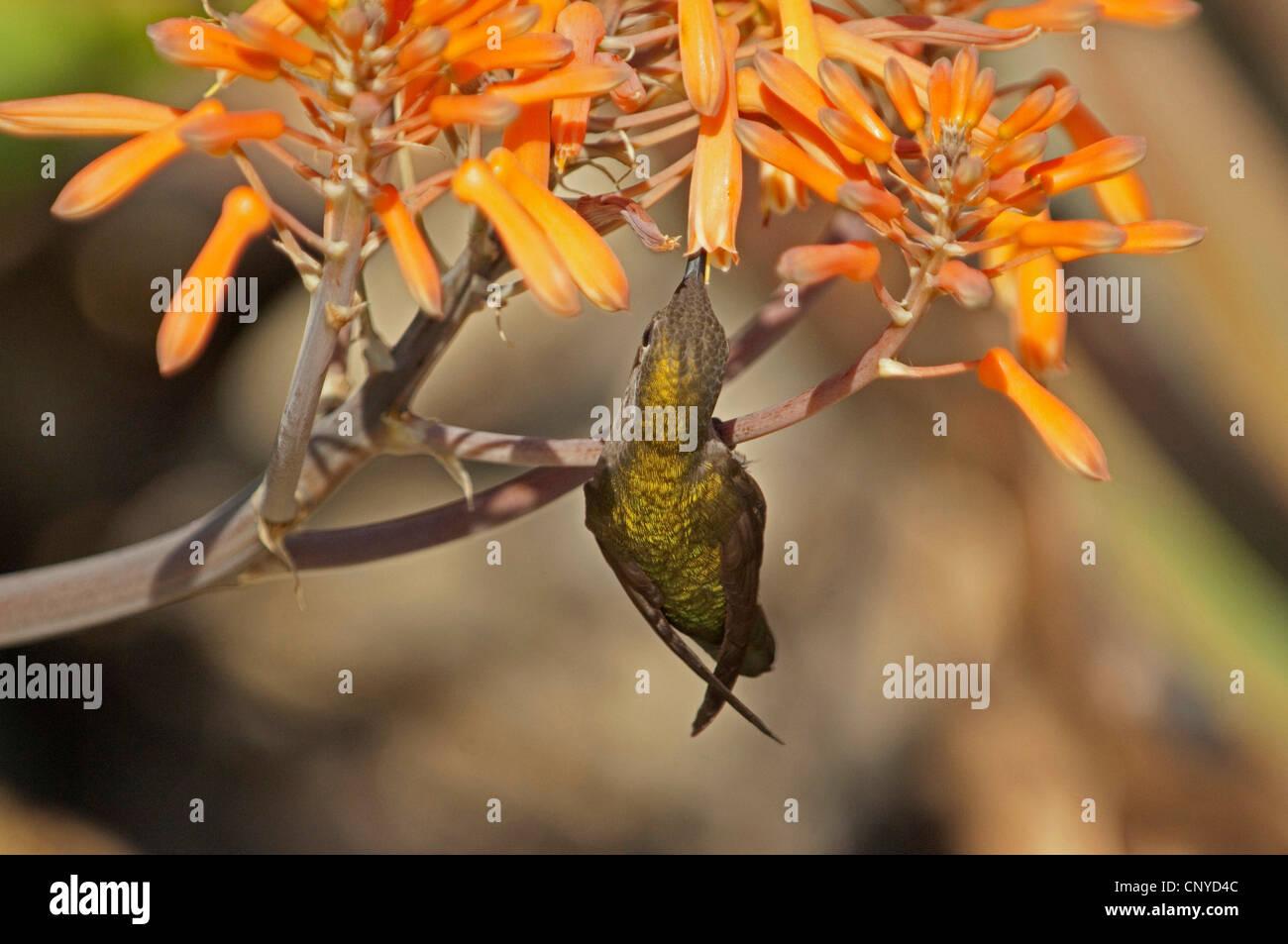 hummingbird feeding on the nectar of a flower, USA, California - Stock Image