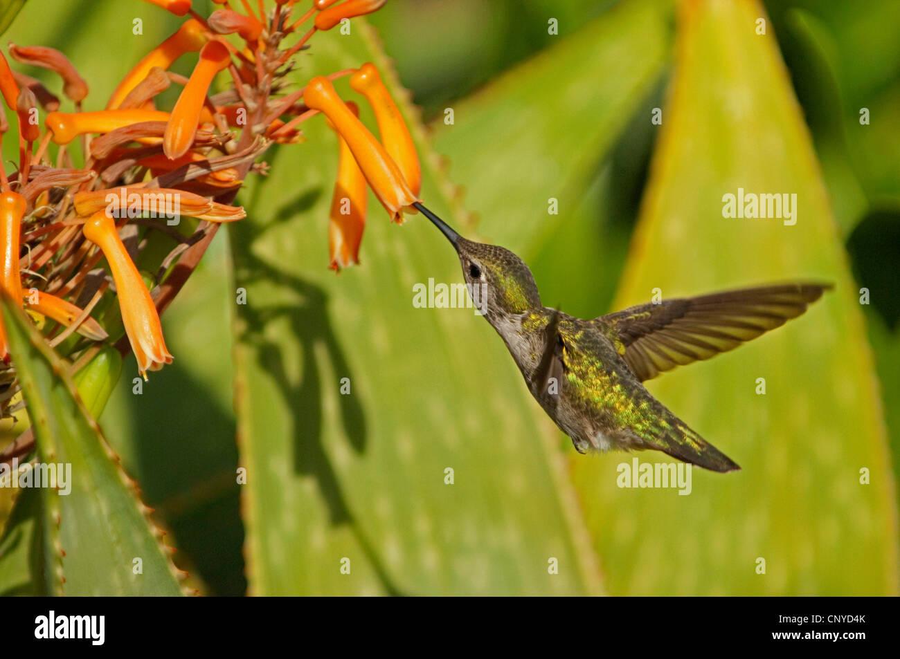 hummingbird feeding on nectar of an orange flower, USA, California - Stock Image