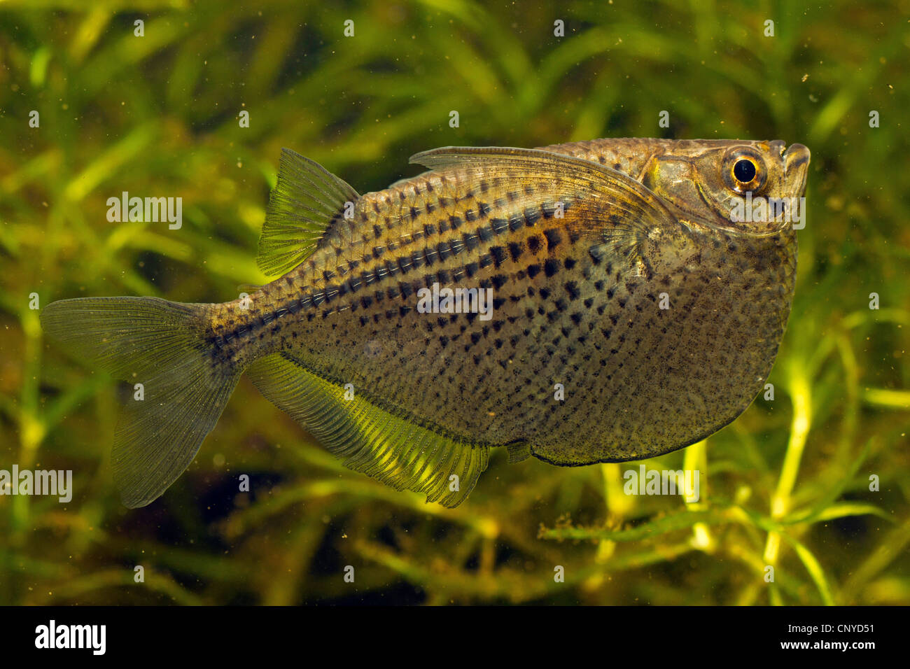 spotted hatchetfish (Gasteropelecus maculatus), fish among water plants - Stock Image
