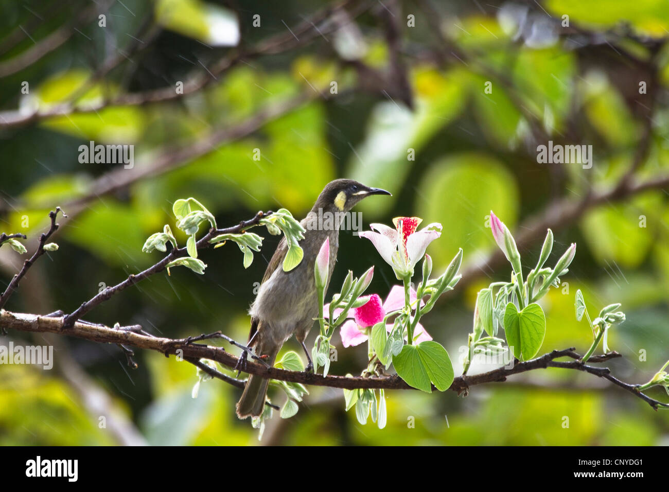 lesser lewin honeyeater (Meliphaga notata), sitting on a blooming branch, Australia, Queensland, Daintree National - Stock Image