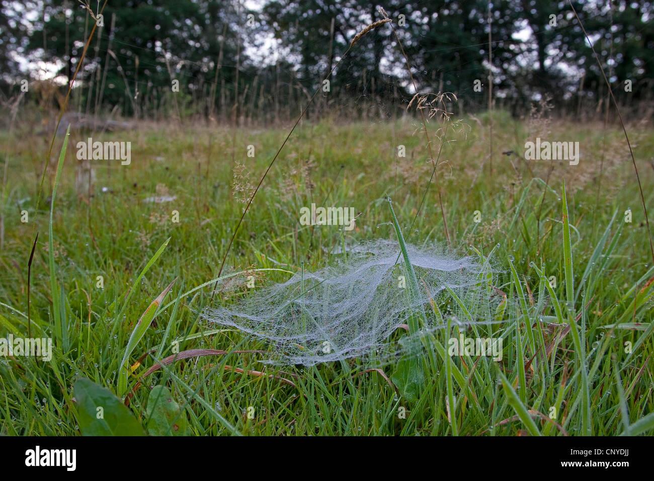 European sheet-web spider, money spider, sheet-web weaver, line-weaving spider, line weaver (Linyphia triangularis), - Stock Image