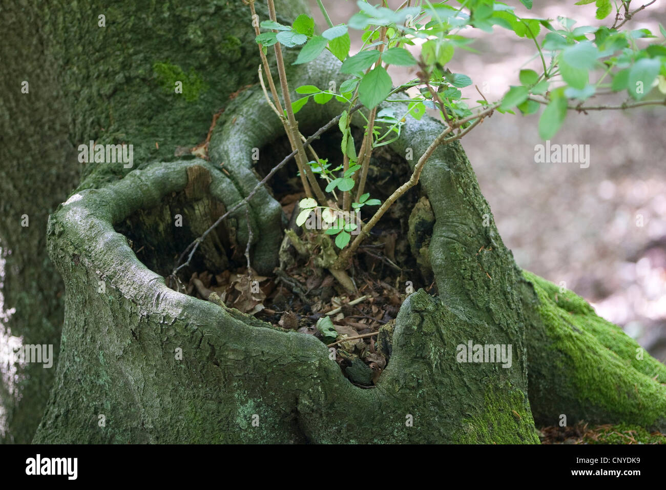 elder (Sambucus spec.), young elderberry bush growing out of a heart-shaped knothole at a tree trunk filled with - Stock Image