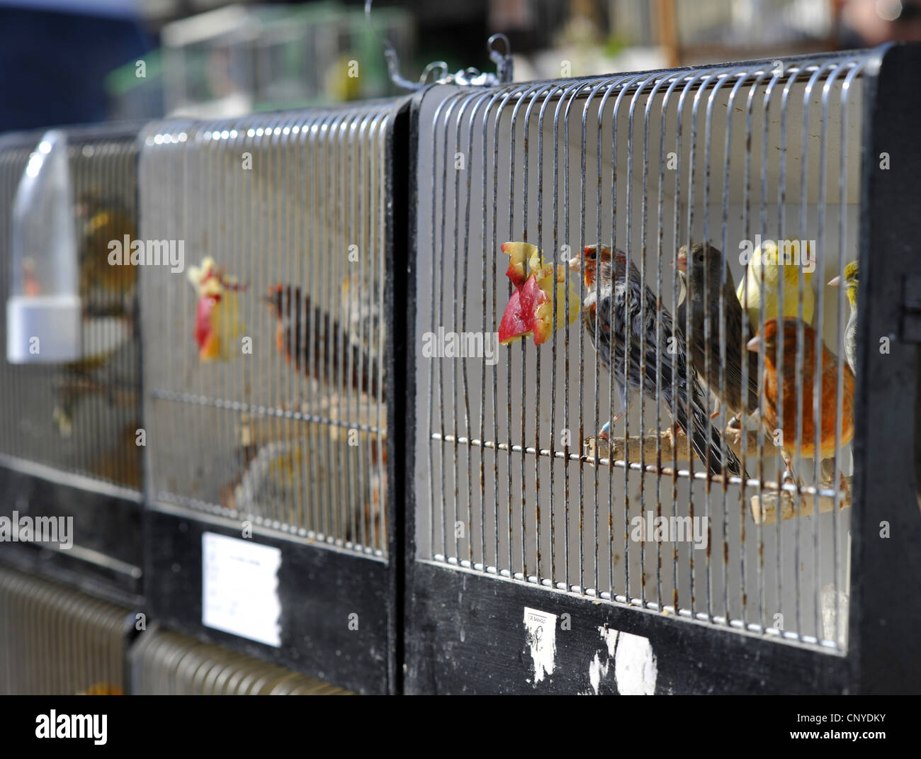 oscine birds in cages for sale at the flower market 'March des Fleurs' turning into a bird market on sundays, - Stock Image