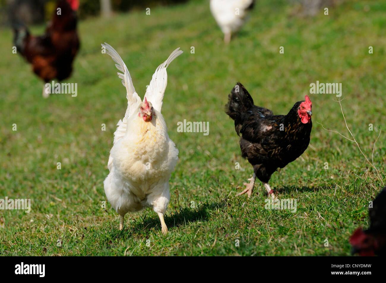 domestic fowl (Gallus gallus f. domestica), hens in meadow - Stock Image