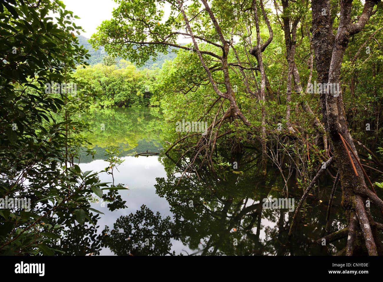 mangroves Daintree Nationalpark, Australia, Queensland, Daintree National Park - Stock Image