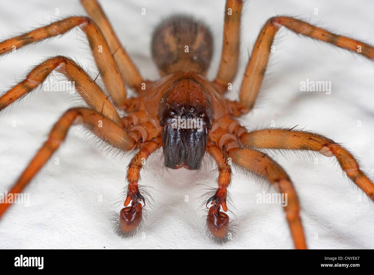 lace weaver spider, window lace weaver (Amaurobius similis), male at a room wall with the mouthparts clearly to - Stock Image