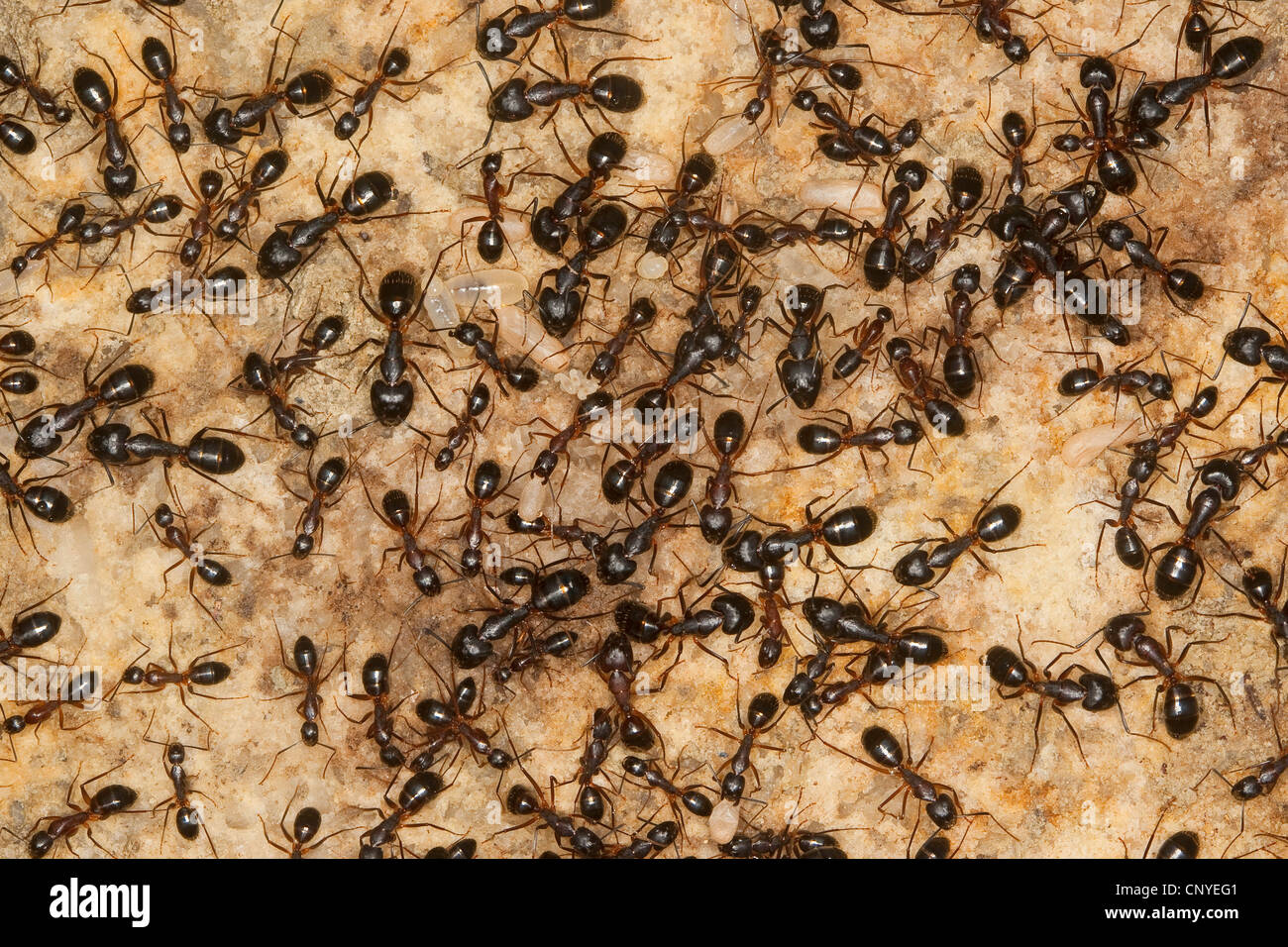 carpenter ants (Camponotus spec.), in the nest with pupas and larvae, Italy, Sicilia - Stock Image