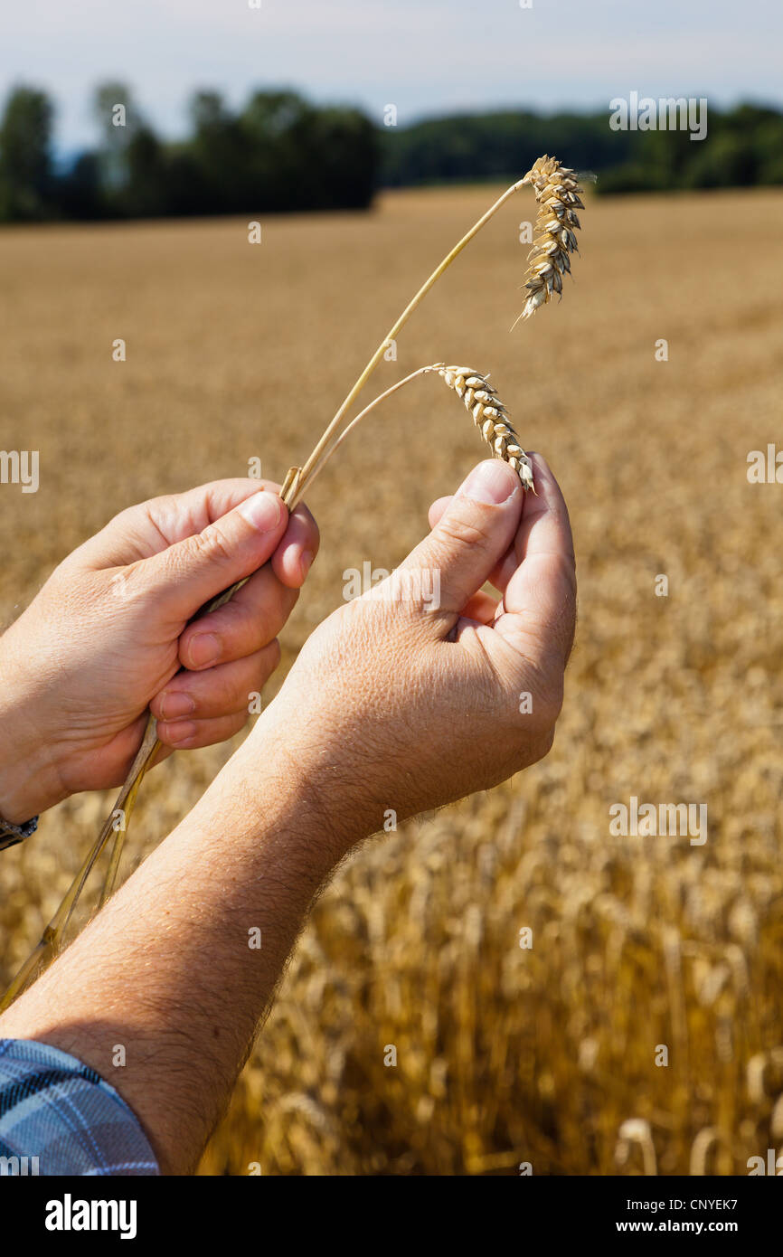 bread wheat, cultivated wheat (Triticum aestivum), farmer holding two wheat ears in the hands over a mature field - Stock Image