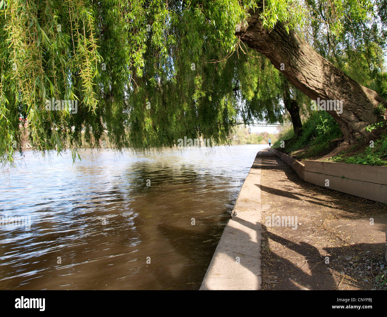 Weeping willow tree along the River Severn, UK Stock Photo