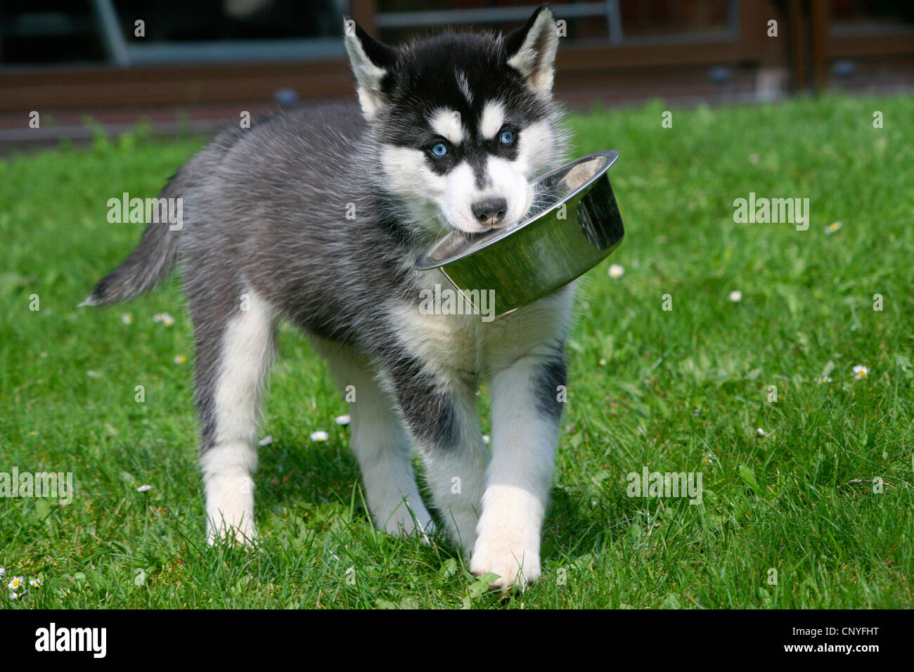 Everything You Need To Know About Siberian Husky Puppies