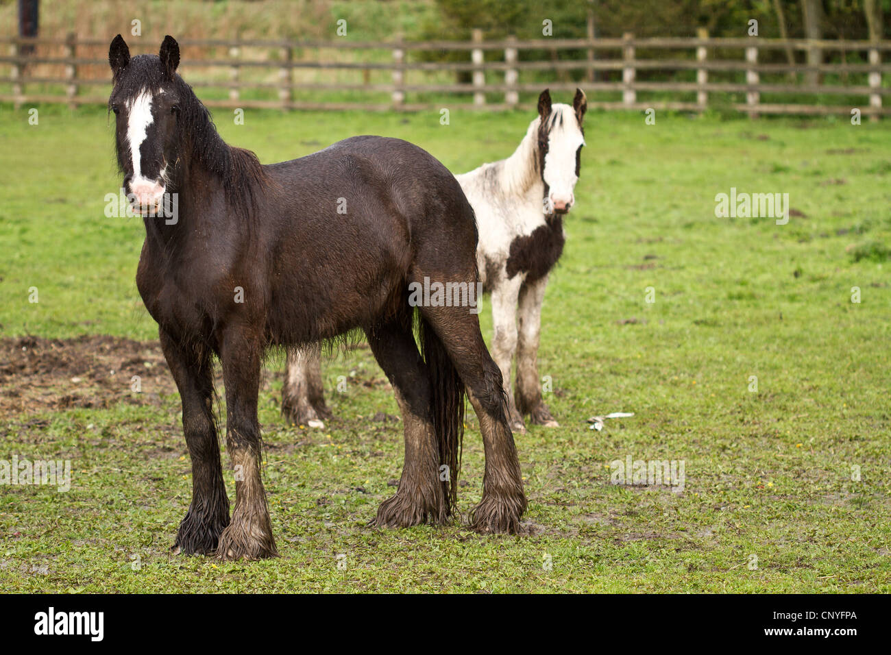 Two 2 Horses Standing In A Field Brown White Face And Wet