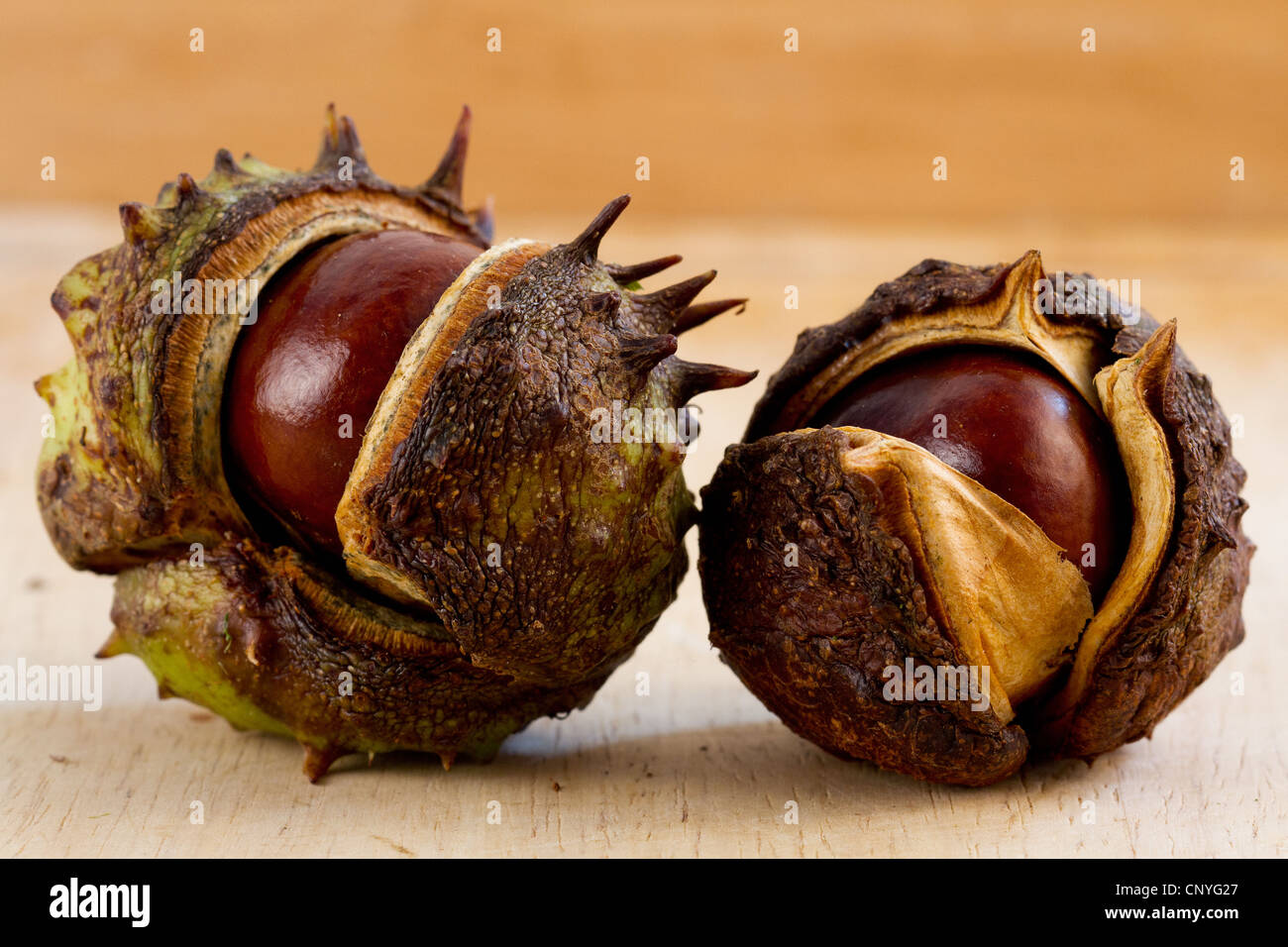 2 conkers in shells horse chestnuts autumn nuts seeds opened - Stock Image