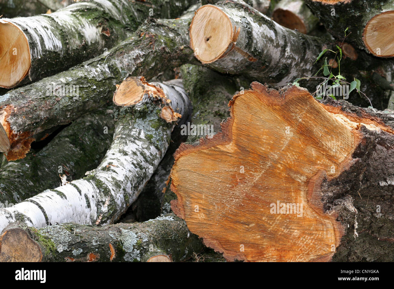 felled birch stems, Germany, North Rhine-Westphalia - Stock Image