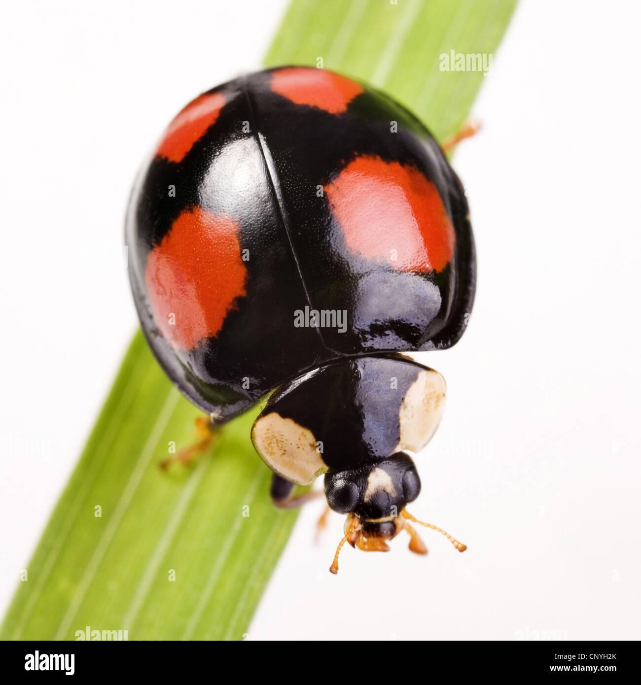 Two Spot Ladybird 2 Adalia Bipunctata Dark Form Germany