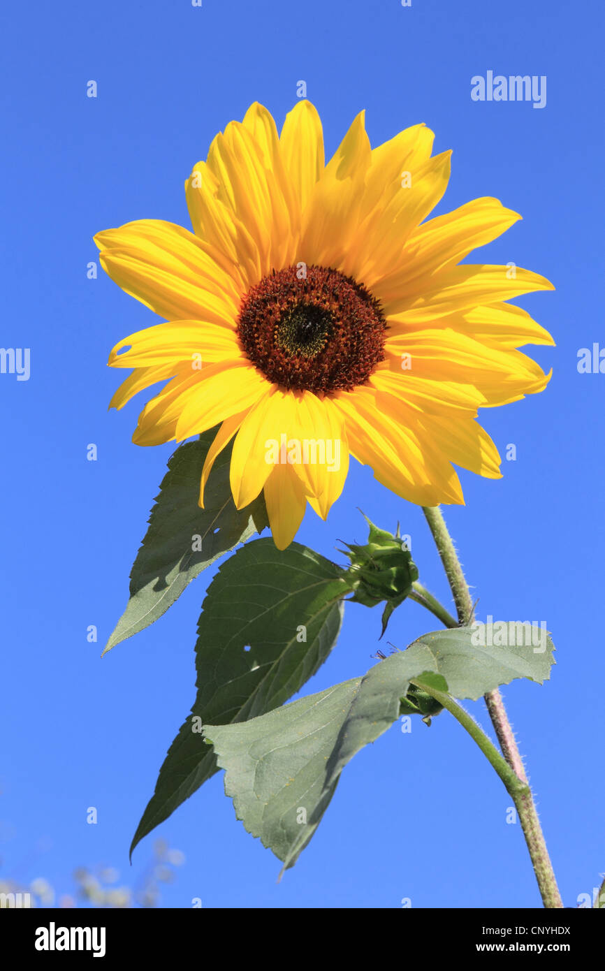 common sunflower (Helianthus annuus), against blue sky, Germany - Stock Image