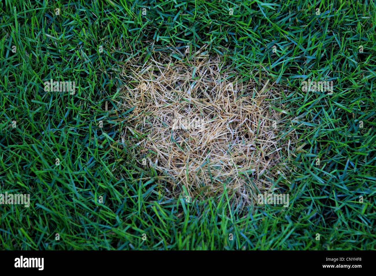 Dollar spot in the lawn, damage by Sclerotinia homoeocarpa - Stock Image