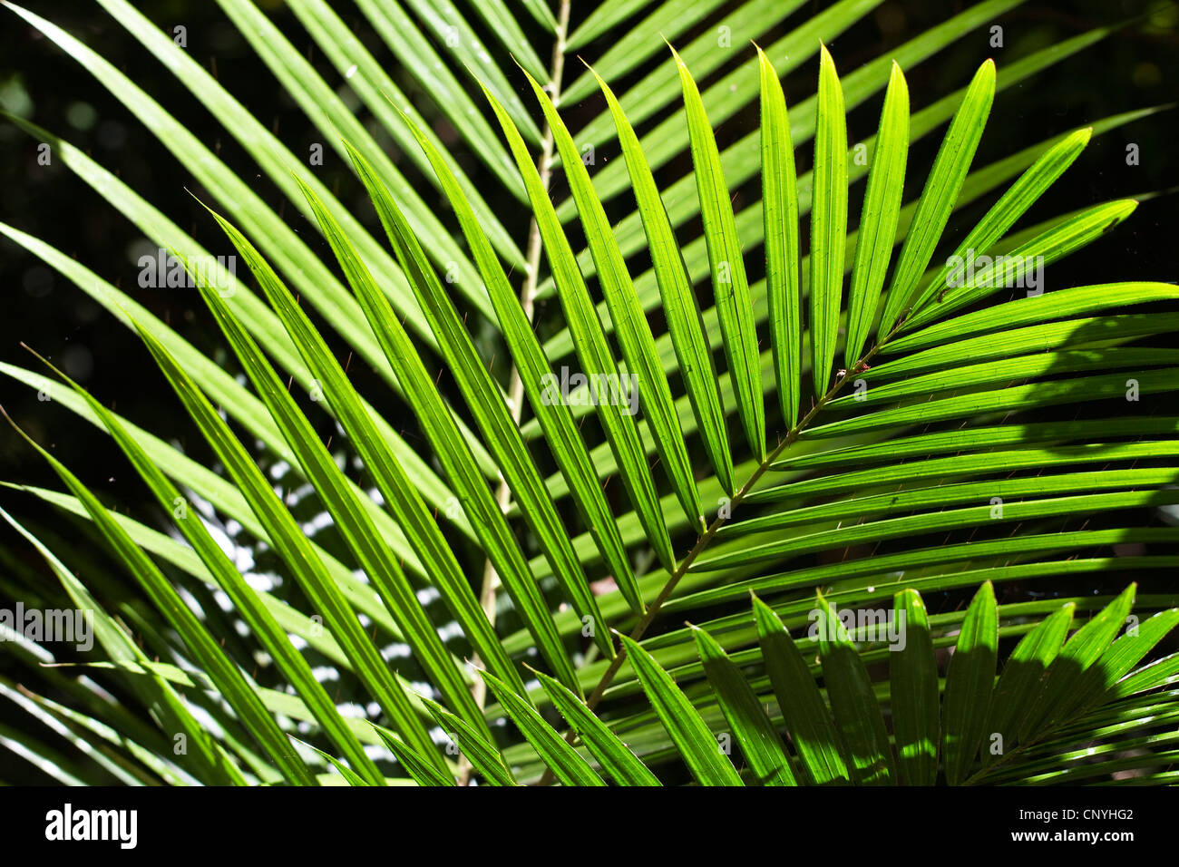 Viscious Hairy Mary (Calamus radicalis), leaves in backlight, Australia, Queensland, Atherton Tablelands - Stock Image