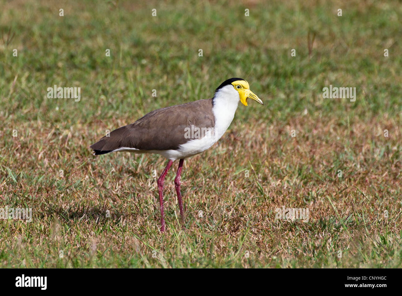 masked plover (Vanellus miles), standing in a meadow, Australia, Queensland - Stock Image