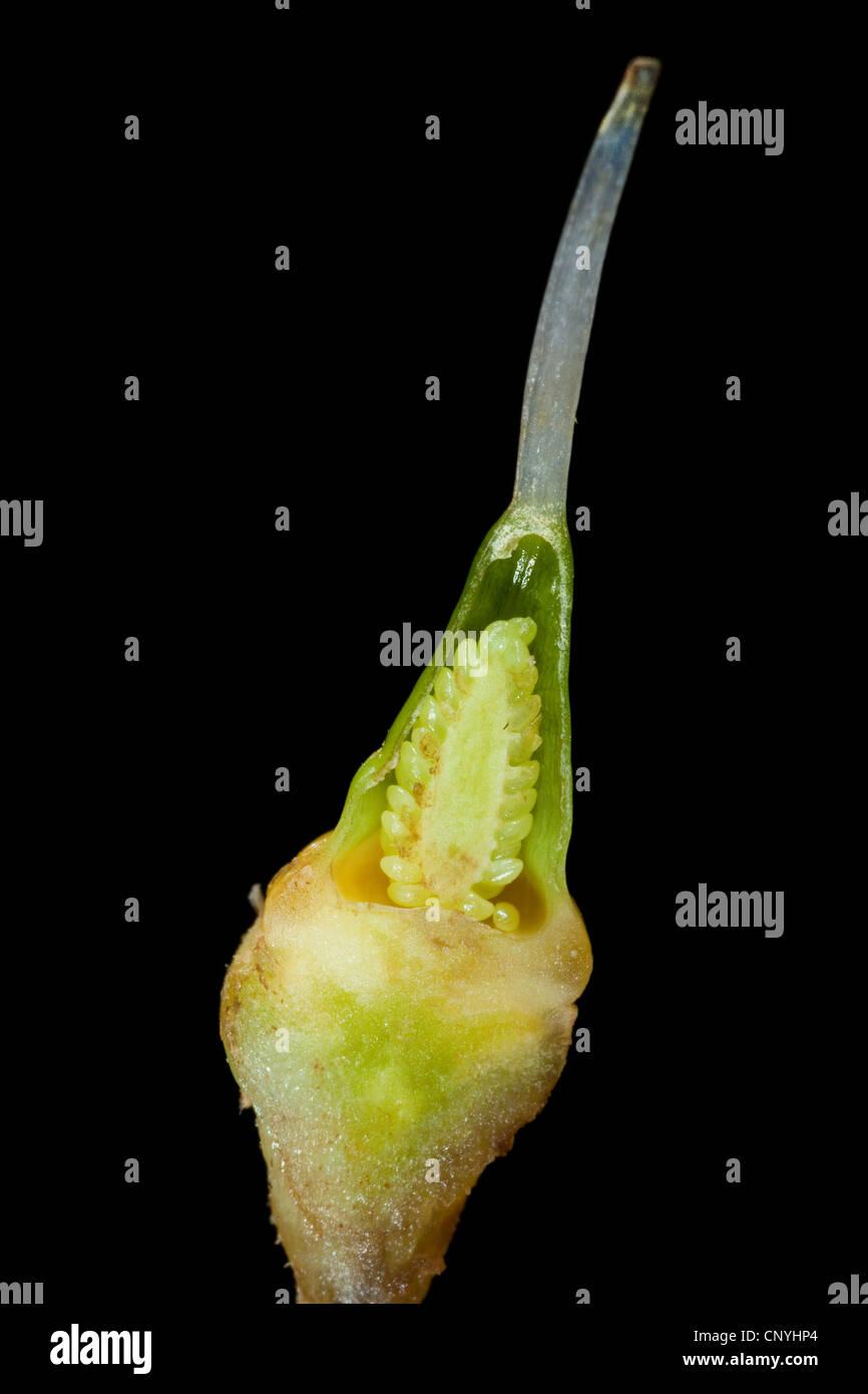 Dragon's Head (Dracocephalum spec.), longitudinal cut of ovary with ovules - Stock Image