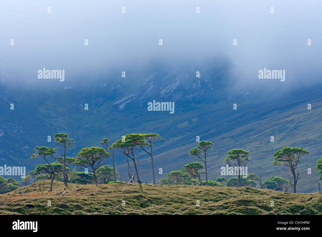 remnant tract of the Caledonian pine woodland in front of looming mountain, United Kingdom, Scotland, Alladale Wilderness - Stock Image