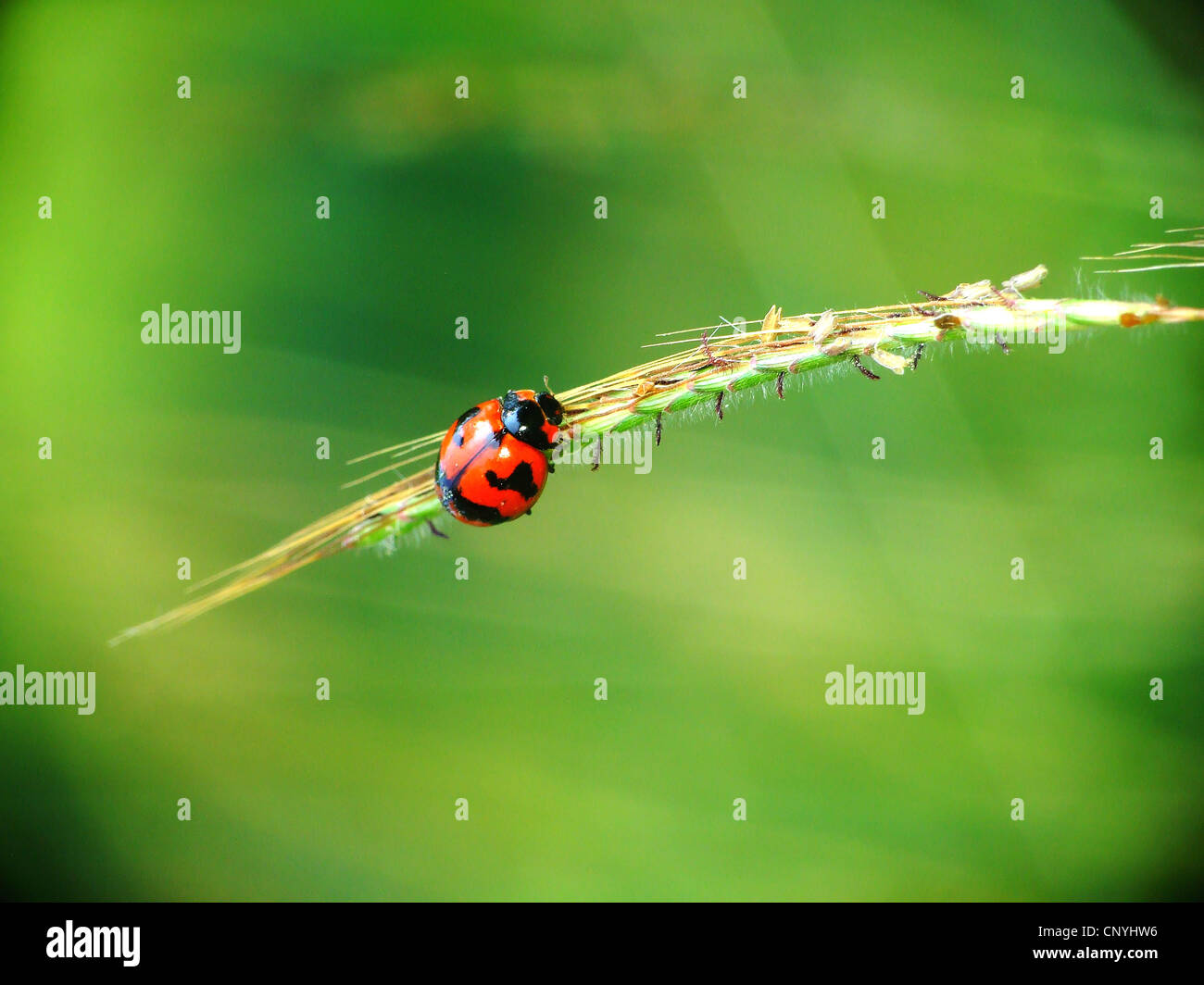 Ladybird on a grass - Stock Image