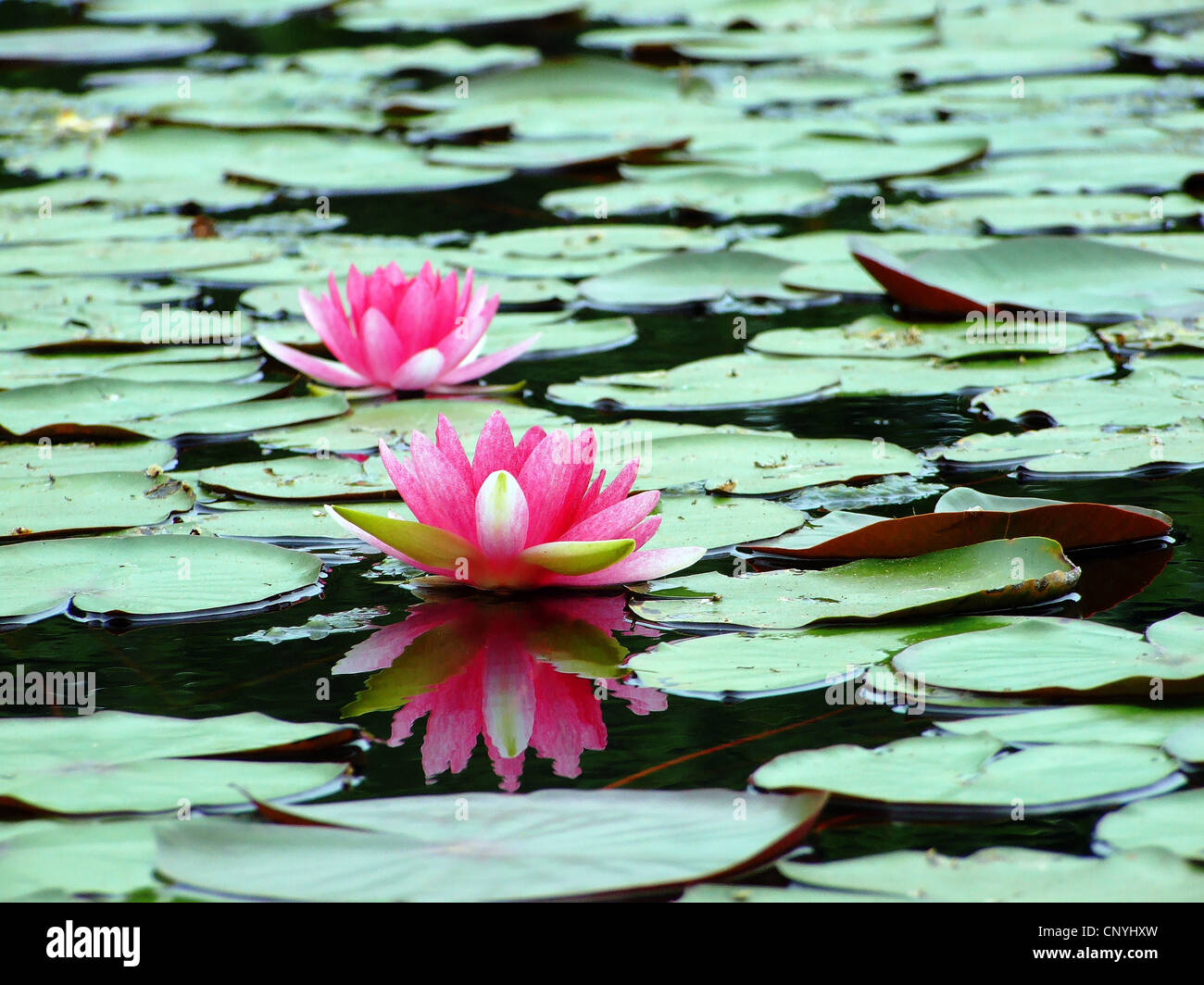 Reflection of the lotus Stock Photo