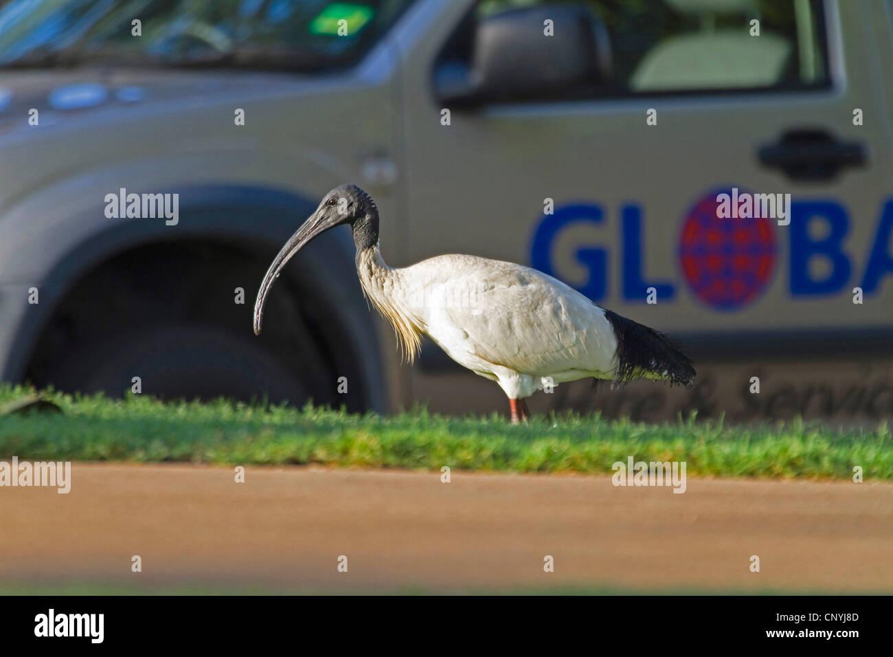 Australian white ibis (Threskiornis molucca), Australian White Ibis in city, Australia, Queensland, Townsville - Stock Image