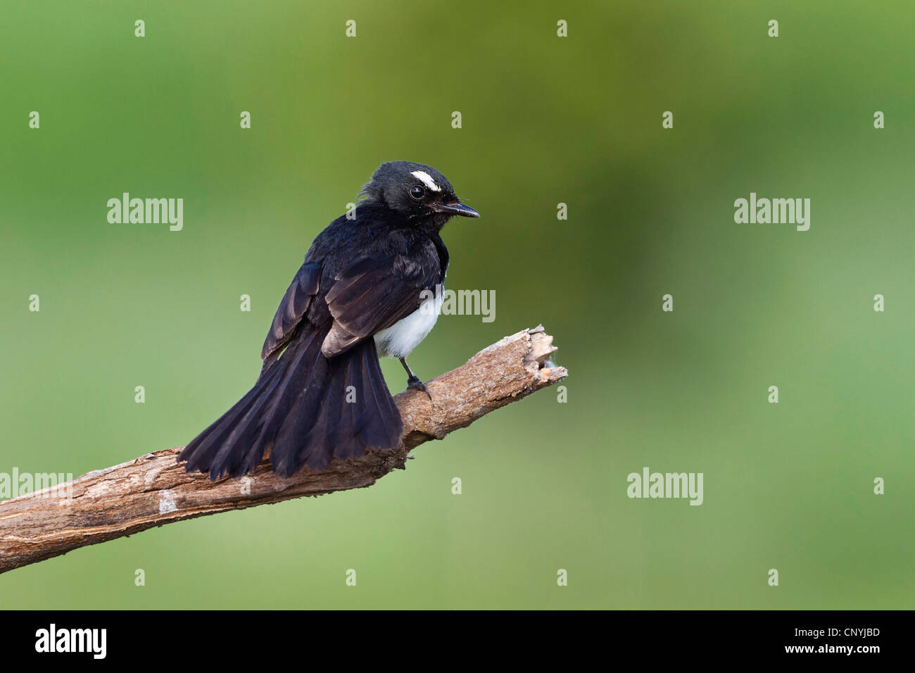 black & white fantail (Rhipidura leucophrys), sitting on a branch, Australia, Queensland Stock Photo