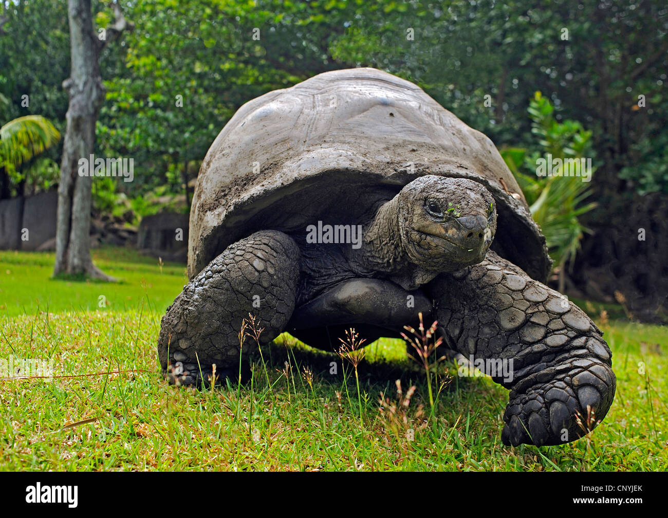 Seychelles giant tortoise, Aldabran giant tortoise, Aldabra giant tortoise (Aldabrachelys gigantea, Testudo gigantea, Geochelone gigantea, Megalochelys gigantea), walking in a meadow, Seychelles, La Digue Stock Photo