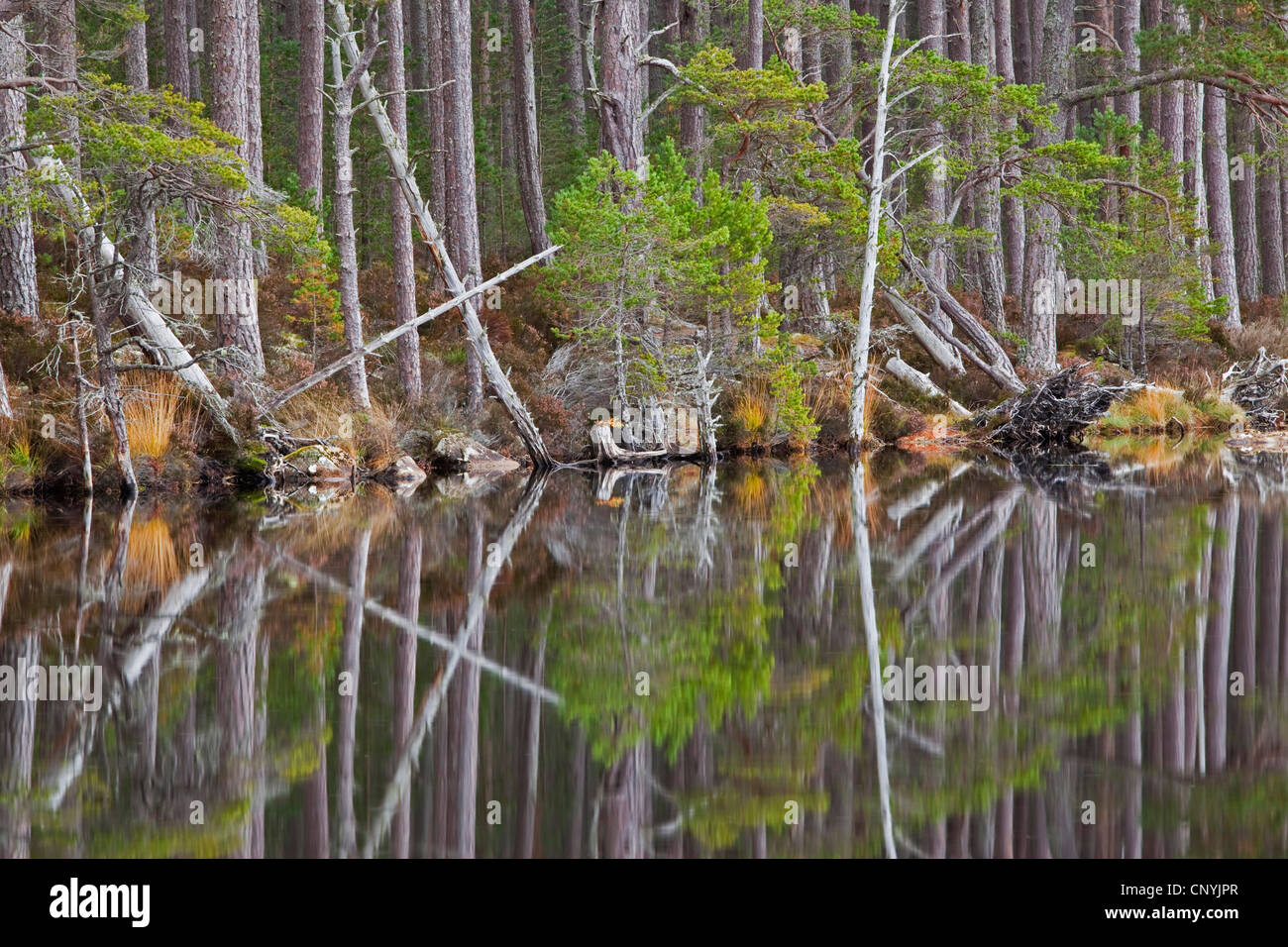 forest picturesquely reflected in Loch Mallachie, United Kingdom, Scotland - Stock Image