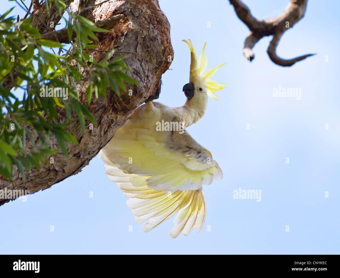 sulphur-crested cockatoo (Cacatua galerita), on a branch, Australia, Queensland, Cape York peninsula, Iron Range - Stock Image