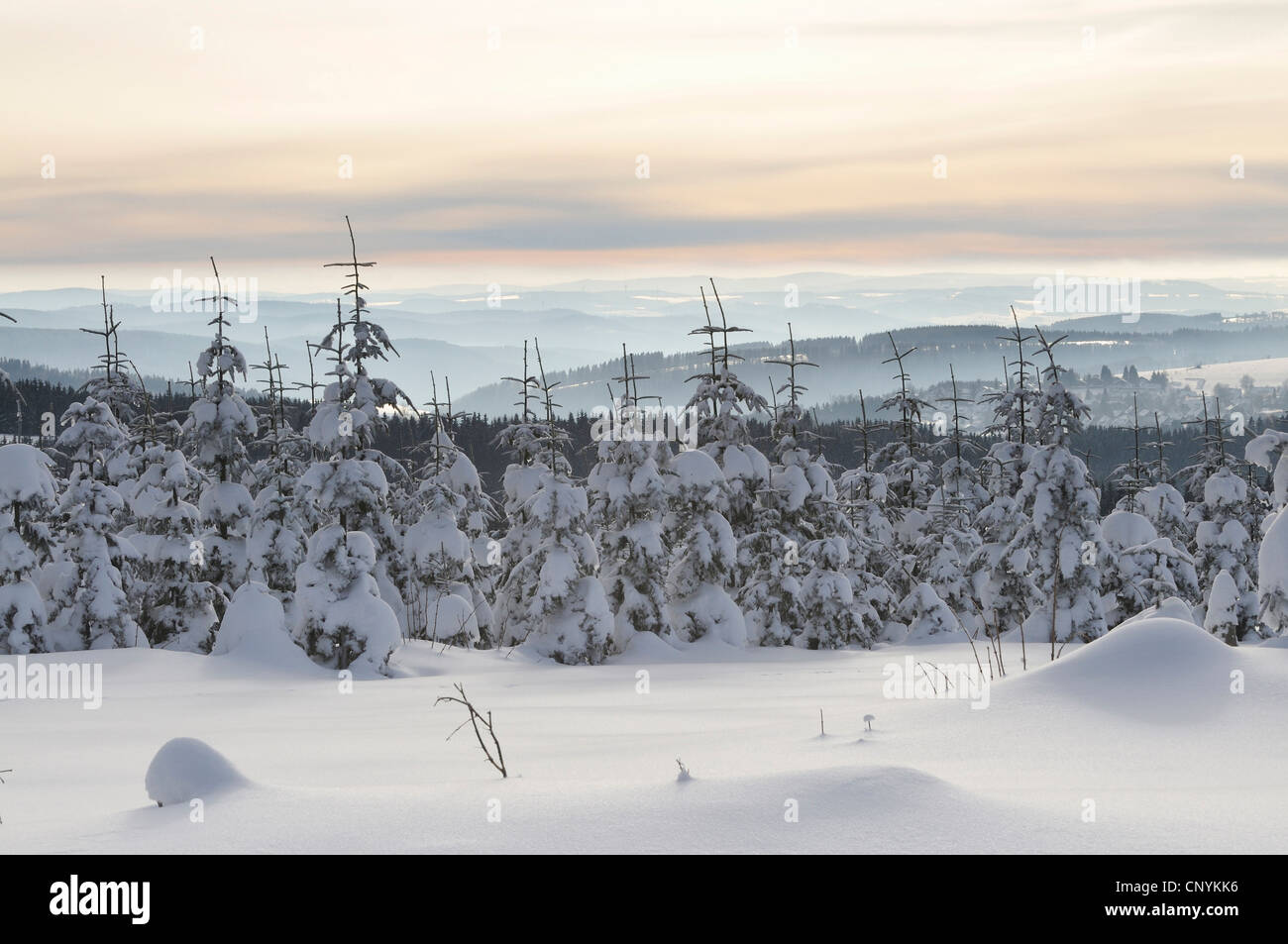 snowcovered young spruces, Germany - Stock Image