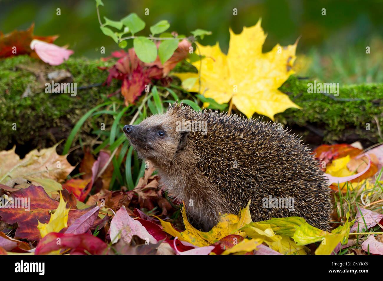 Western hedgehog, European hedgehog (Erinaceus europaeus), with autumn leaves, Switzerland, Sankt Gallen - Stock Image